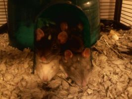 rat igloo by HER13
