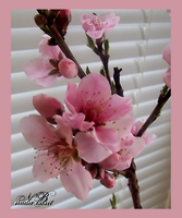 Peach Blossoms by Silver-Dew-Drop