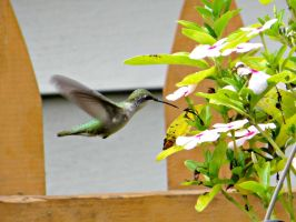Hummingbird by NathansMommy1787