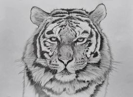 Tiger drawing by lydiaaaaa