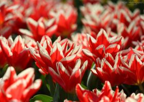 Red Tulips by NorthernLand