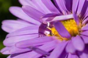 Purple Flower and Drop by Satriver