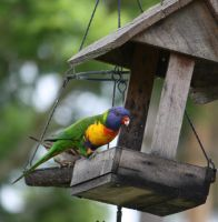 Rainbow Lorikeet 01 by aussiegal7