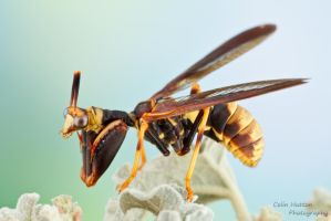 Wasp Mantidfly - Climaciella brunnea by ColinHuttonPhoto