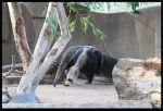 Anteater + Young by CriticalPhotography