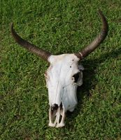 Cow Skull 5 by SalsolaStock