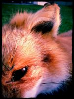 Taxidermy Soft Mounted Fox by WCC Taxidermy 5 by DerpMuffin12