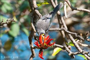 Noisy Miner - 02 by shiroang