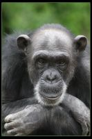 Chimpanzee by Globaludodesign