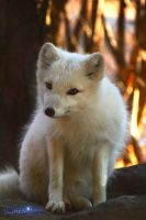 Artic fox pup by Lizziesphotos