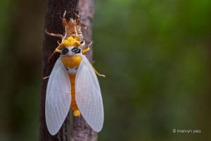 Black and Golden Cicada -Huechys fusca by melvynyeo