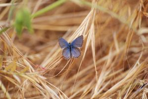 Eastern Tailed Blue Butterfly by Blicrowave-Bloven