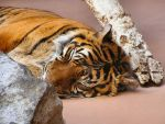 Tired Tiger Desktop by Justaminute