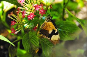 Butterflys III by m-faccone