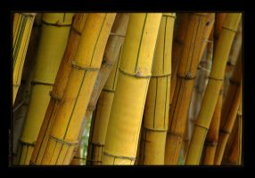Bamboo by nicoleP