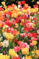 Tulips and Narcissus 2 by CASPER1830