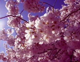 Cherry Blossoms by Wataru12012