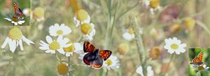 I love Butterfly's by Betuwefotograaf