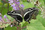 Butterfly black by BetaDraconis