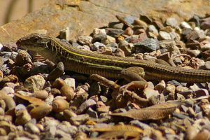 Whiptail Lizard 2 by PatGoltz