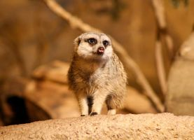 The Meerkat by Leehi