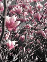 Magnolia Tree by serpentesse