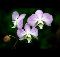 Purple Orchids by Vividlight