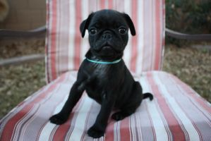 Squirtle the Pug Puppy by icantthinkofaname-09