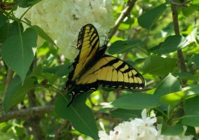 Yellow Butterfly by Leucrota