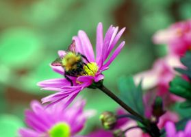 Bee taking pollen by Mark-Allison