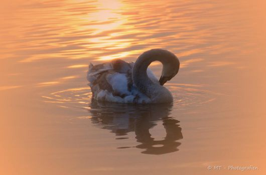 swan romance 12 by MT-Photografien