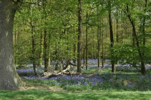 Bluebell Woodland by Jakari