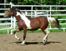 Horse Stock 87 - Coby by Freedom-Falling