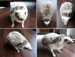 White bellied hedgehog lifesize mount FOR SALE by DeerfishTaxidermy