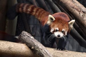 Red Panda Stock 10 by HOTNStock