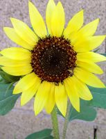 Sunflower by LaurelPhotoandCraft
