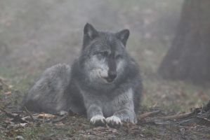 Gray Wolf Stock 34: Wolf in Fog by HOTNStock
