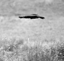 Crow 9495 by filmwaster