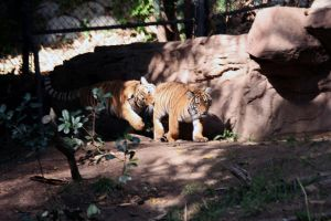 tiger cubs 2 by stockofshutterbugmom