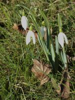 snowdrops in warm sunlight by marob0501