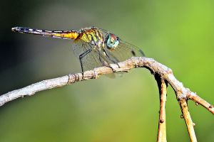 Dragonfly by aggie00