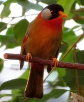 Bird Stock 10: Silver-eared Mesia by HOTNStock