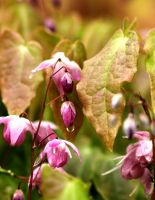 Epimedium Grandiflorum by Yoonett