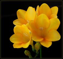 YELLOW FREESIAS by THOM-B-FOTO