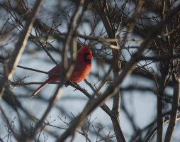 Male Cardinal April - 2014 - 2 by toshema