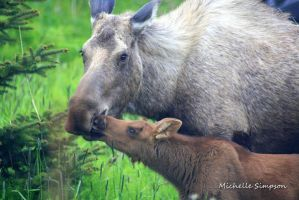 Moose Kisses by MSimpsonPhotos