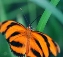 Tiger Butterfly by mqRina