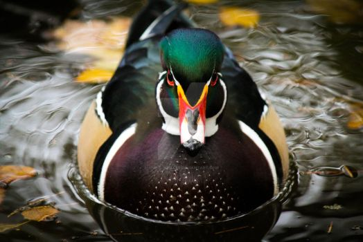 The Faceoff - Male Wood Duck by Spirit-whales