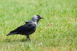 Eurasian Jackdaw by rat-or-rat