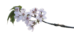 apple blossoms PNG by Amalus